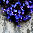blue flowers growing over concrete wall
