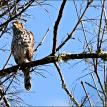 Hawk-Oregon-Nature Photography